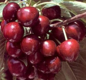 "Плоды вишни ""Волочаевка"""