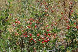 Кустовая карликовая вишня