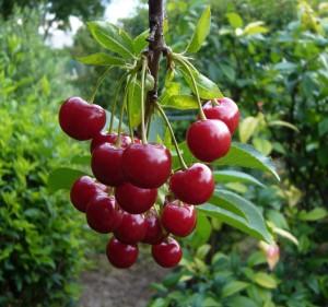 Плоды черешни Василиса