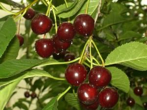 """Спелые плоды вишни """"Встреча"""""""