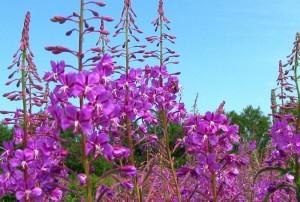 Цветы иван-чая имеют яркий окрас