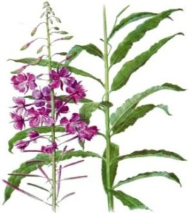 У растения длинные узкие листья