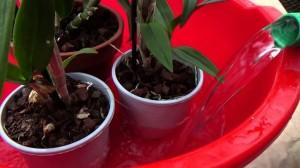 Для полива орхидеи воду нужно отстоять