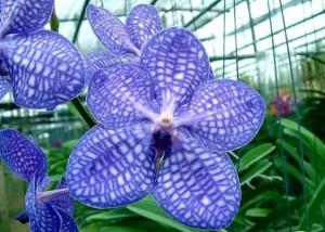 Голубая Ванда - самый популярный тип этого вида. Относительная живучесть и неприхотливость — это то, за что ее выбирают многие любители орхидей