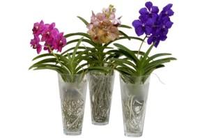 В супермаркете вы приобретете гибрид, который специально выведен для выращивания в домашних условиях. Продаются в основном оранжевые и голубые орхидеи Ванда