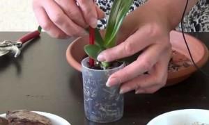 Перед пересадкой полейте землю в старом горшке и, аккуратно поддевая лопаткой, поднимите вашу орхидею