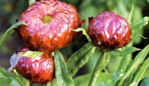 Своевременный полив в сочетании с правильным уходом обеспечат обильное цветение на протяжении всего летнего периода