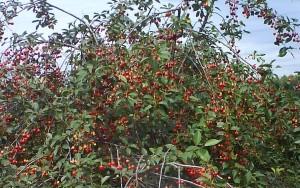 "Дерево вишни ""Встреча"""