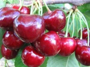 Плоды черешни сорта Регина