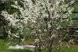 """Дерево вишни """"Брусницына"""""""