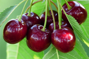 Плоды черешни Тютчевка
