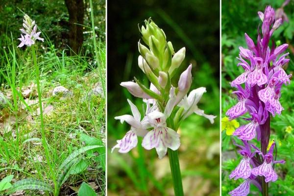 Дикая северная орхидея