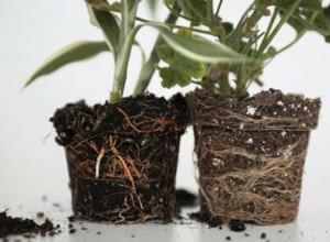 Орхидея должна свободно выниматься из горшка вместе с почвой