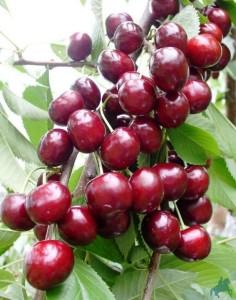 Плоды черешни Сказка