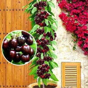 Плоды колоновидной черешни