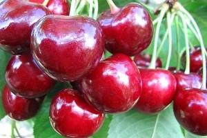 """Плоды вишни """"Ревна"""""""