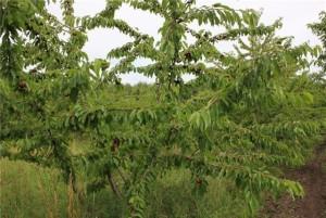 Дерево черешни Ипуть