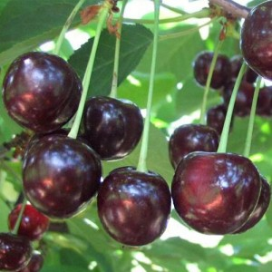 "Плоды вишни ""Ночка"""