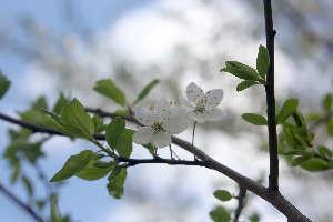 """Фруктовый цвет вишни """"Подбельская"""""""