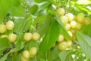 Плоды черешни Дрогана