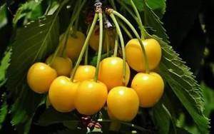 Плоды черешни Юлия