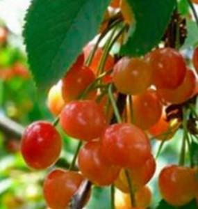 Плоды черешни сорта Фатеж