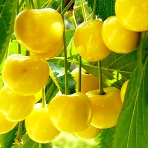 Плоды желтой черешни Аппетитная