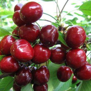 Плоды черешни сорта Валерий Чкалов