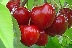 Плоды черешни сорта Саммит