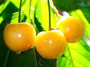 Плоды черешни Франсис