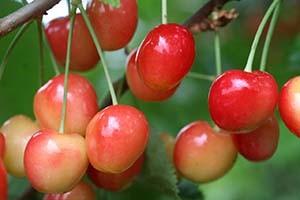 Плоды черешни сорта Приусадебная