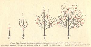 Правильная обрезка дерева черешни (Нажмите для увеличения)