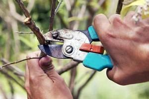 Подрезка вишни