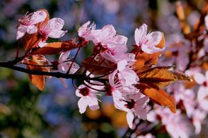 Цветы японской вишни