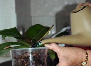 Поливать орхидею лучше всего над раковиной