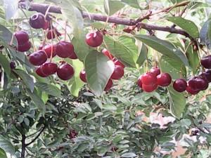 Зрелые плоды вишни Шпанки