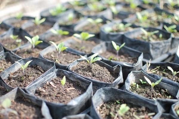 Первые всходы семян астильбы