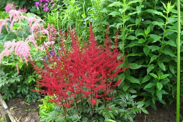 Астильба Арендса наиболее распространенный вид, широко используется в садовом дизайне европейской части России