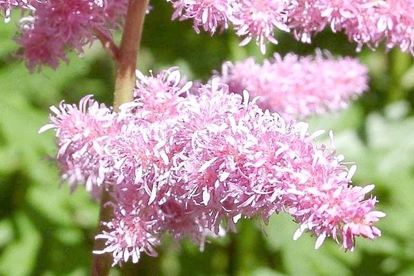 Астильба Давида используется в ландшафтном дизайне как фоновое растение, ее хорошо высаживать вдоль забора, декорировать хозяйственные постройки