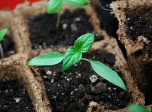 Выращивание астильбы из семян