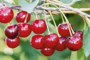"Плоды вишни ""Брусницына"""