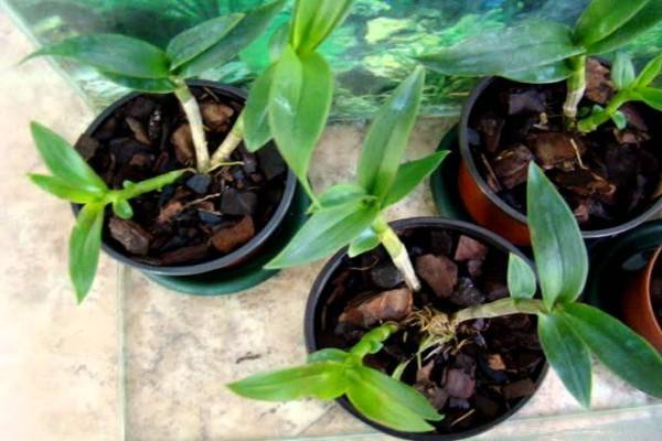 Оптимальный температурный режим - залог здорового роста орхидеи