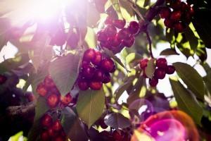Плоды черешни сорта Французская