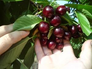 Плоды черешни сорта Джерело