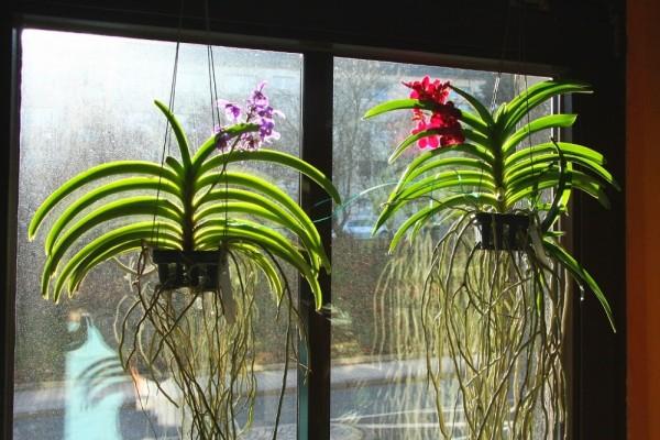 Орхидея Ванда в подвесном горшке