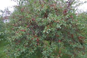 Дерево черной черешни Мулатка