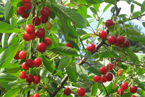 """Плоды вишни сорта """"Лебедянский"""""""