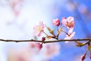 """Цветы вишни """"Морозова"""""""
