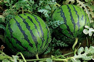 Сорта арбузов для Сибири: какие семена выбрать, как ...