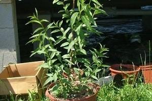 Саженец персика